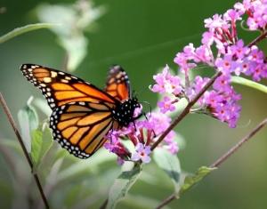 butterflymonarch