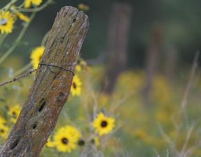 sunflowers with a post